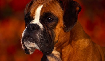 Animals boxer dog dogs HD wallpaper