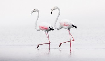 Birds flamingos HD wallpaper