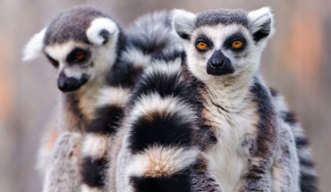 Animals lemur nature HD wallpaper