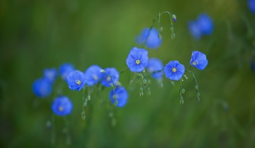 Nature flowers blue wildflowers blurred background HD wallpaper