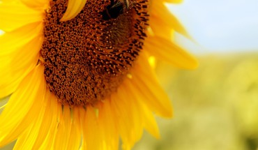 Bees flowers insects macro summer HD wallpaper