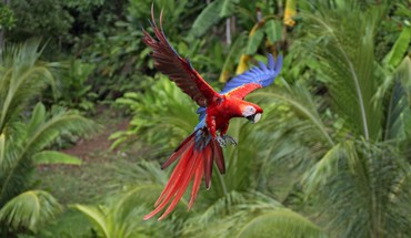 Macaw scarlet macaws birds flight parrots HD wallpaper
