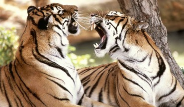 Fighting tigers HD wallpaper