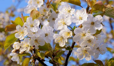 Gorgeous cherry blossoms HD wallpaper