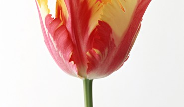 T28 flowers simple background tulips HD wallpaper