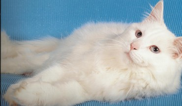Fluffy white cat HD wallpaper