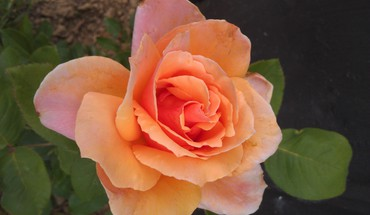 Orangepink rose HD wallpaper