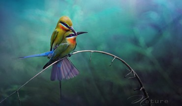 Birds wildlife bee eaters twig HD wallpaper