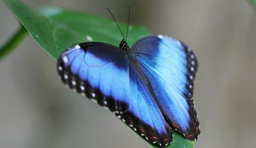 Blue butterflies insects leaves HD wallpaper