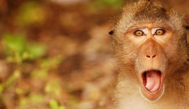 Surprised monkey HD wallpaper