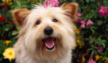 Animals dogs terrier HD wallpaper