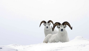 Animals ram sheep HD wallpaper