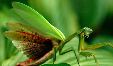 National geographic animals mantis nature HD wallpaper