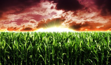 Agriculture corn crops nature HD wallpaper
