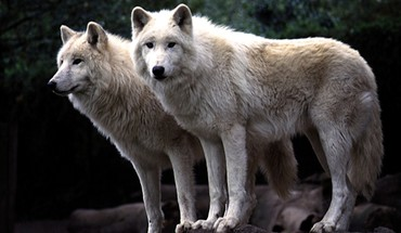 Animals canine wolves HD wallpaper