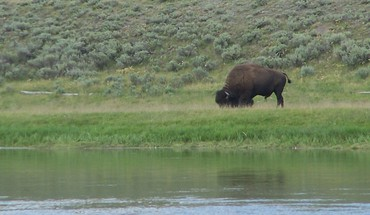 Grazing american bison HD wallpaper