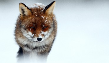 Winter snow animals cold foxes HD wallpaper