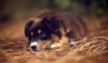Animals dogs australian shepherds HD wallpaper