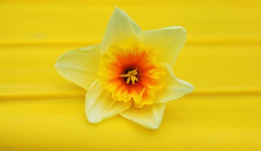 Daffodils flowers macro nature yellow HD wallpaper