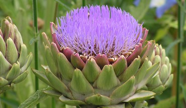 Artichoke is also nice as flower HD wallpaper