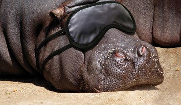 Animaux hippopotame  HD wallpaper