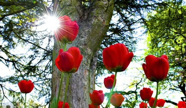 Red tulips in the sun HD wallpaper