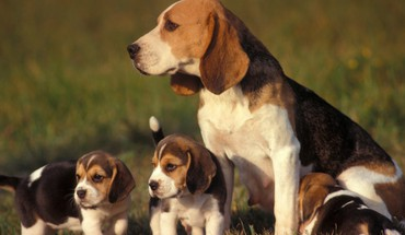Dogs puppies beagle baby animals HD wallpaper