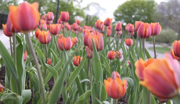 Tulips from ottawa park HD wallpaper