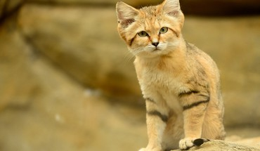 Cats animals sand cat HD wallpaper