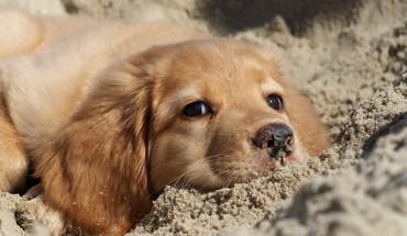 Sandtiere Hunde Welpen Golden Retriever  HD wallpaper