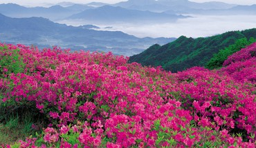 Hillside rhododendrons  HD wallpaper
