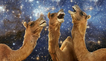 Llama laughing HD wallpaper