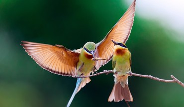 Birds animals bee eaters HD wallpaper