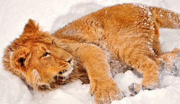 Animals lions snow HD wallpaper