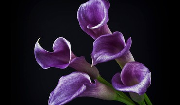 Purple calas HD wallpaper