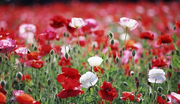 Flowers red poppies HD wallpaper