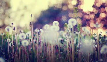 Dandelions depth of field HD wallpaper