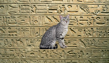 Egyptian Mau  HD wallpaper