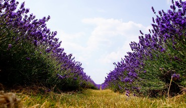 Lavender nature path purple flowers worms eye view HD wallpaper