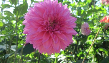 Pink dahlia HD wallpaper