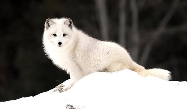 Polar fox HD wallpaper