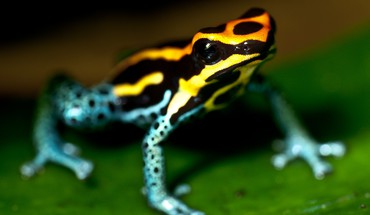 Animals amphibians poison dart frogs HD wallpaper