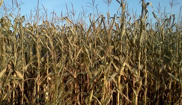 Cornstalks  HD wallpaper