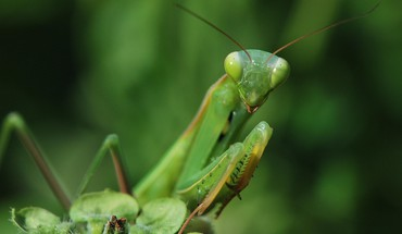 Insects praying mantis HD wallpaper