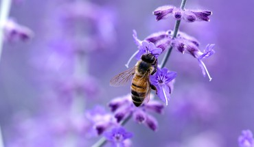 Close-up nature flowers insects purple macro bees HD wallpaper