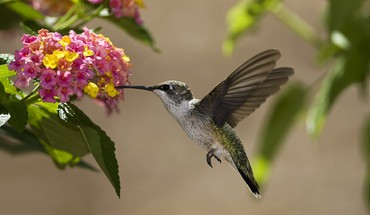 Colibri flowers hummingbirds HD wallpaper