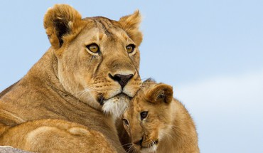 Lions Familie  HD wallpaper
