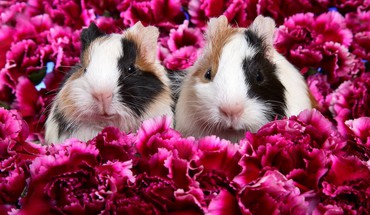 Flowers animals mammals guinea pig HD wallpaper
