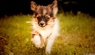 animaux Nature herbe chiens chiots papillon  HD wallpaper