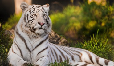 Animaux herbe tigres Tigresse blanche  HD wallpaper